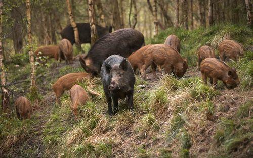 hunting-boar.jpg