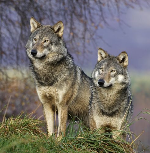 hunting-wolf.jpg