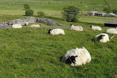 pitton-sheep.jpg