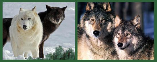 tisbury-wolves.jpg